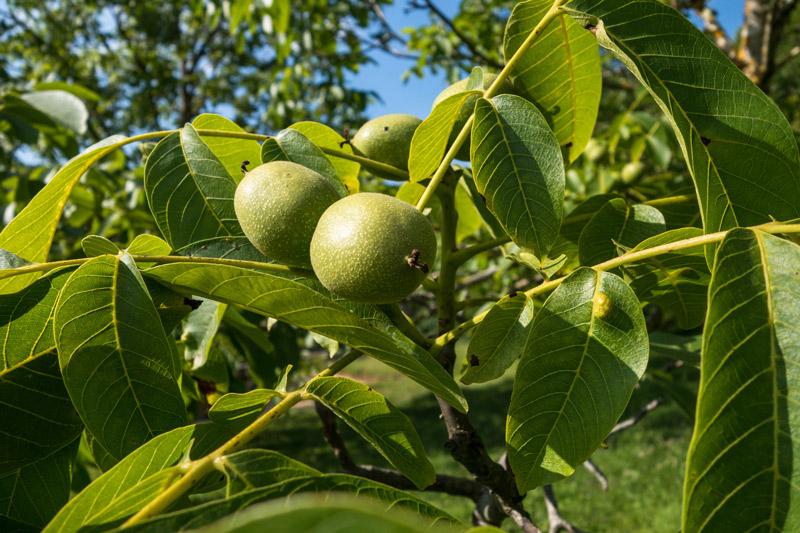 Le fruit du noyer : la noix