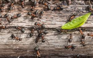 se débarrasser définitivement des fourmis charpentières