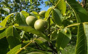 noix de grenoble, un fruit aux vertus surprenantes